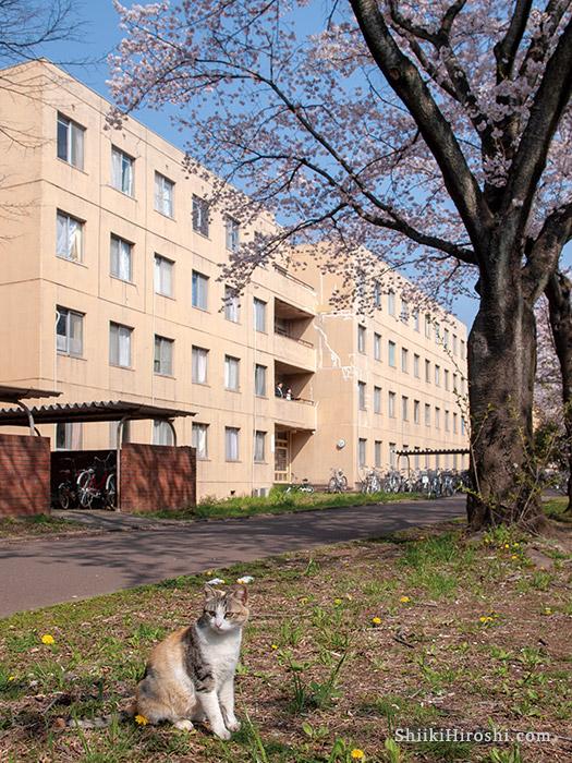 平砂学生宿舎と桜と猫